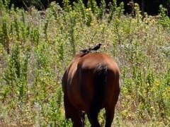 A cavalo dos cavalos (LuPan59) Tags: birds fauna aves oeiras cavalos lupan59 estorninhos