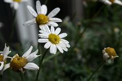 Margeritenblten, vom Hagel zerzaust - Marguerites dishevelled by hail and rain (riesebusch) Tags: berlin garten marzahn