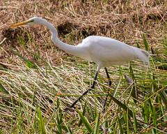 _C5A3629.jpg (Lake Worth) Tags: bird nature birds animal animals canon wings wildlife feathers sigma waterbird wetlands everglades waterbirds southflorida 2xextender