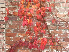 autumn wall (Just Back) Tags: camera red brick fall love sc leaves sex wall bar climb compound stem afternoon herbst southcarolina woody vine columbia science tendril foliage carolina vitaceae friday leaflet botany biology isis hg liana parthenocissus huntergatherer chlorophyll quinquefolia petiole anthocyanin palmate petiolule