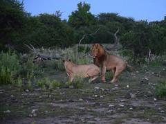 Early Morning Mating (zenseas) Tags: africa morning wild early am lowlight driving lion safari lions mating namibia lioness etosha copulating panthera pantheraleo selfdrive namutoni etoshanationalpark kleinnamutoni