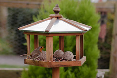 wood red england food house green bird robin animal wooden wings song small feeder suet