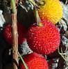 croatia  DSC00970 (Rolf Kamras) Tags: berries croatia dubrovnik babinkuk