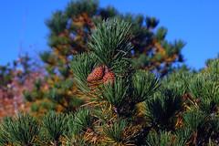 Pygmy Pitch Pine on Hawksbill Mountain 2014-1017-225 (LostPineJim) Tags: northcarolina linvillegorge pitchpine pinusrigida burkecounty hawksbillmountain