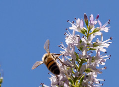 """The Wings of a Bee • <a style=""""font-size:0.8em;"""" href=""""http://www.flickr.com/photos/7605906@N04/15561960503/"""" target=""""_blank"""">View on Flickr</a>"""
