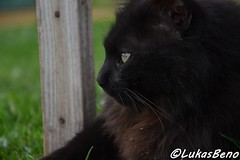 Black Chantilly cat (LukasBeno) Tags: blue people pet baby white black green animal yellow cat mouth hair studio mammal one dangerous eyes kitten feline long alone looking shot head cut no background teeth kitty away nobody anger headshot domestic angry bombay violence creature tiffany isolated rudeness furious chantilly vertebrate displeased growling purebred meowing