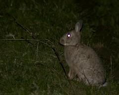 Rabbits at night. (clicka13) Tags: wild rabbit animal animals night photography wildlife rabbits tyneside burradon lamping