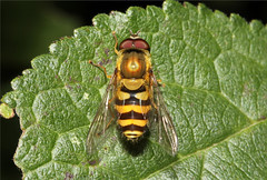 Syrphus ribesii  (Nick Dean1) Tags: greatbritain insect guernsey channelislands animalia arthropoda hoverfly syrphidae arthropod diptera insecta syrphusribesii