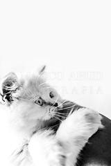 Baby (Marco Abud) Tags: nature animal cat natureza gato felino whitecat gatodoméstico gatobranco marcoabudfotografia marcoabud
