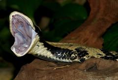 False water cobra DSC_0101 (ikerekes81) Tags: zoo cobra reptile nationalzoo yawning venomous dczoo smithsoniannationalzoologicalpark falsewatercobra hydrodynastesgigas