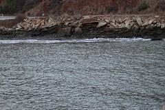 We Saw A Seal (or Sea Lion) - It was Big (m.gifford) Tags: ocean sf sanfrancisco california county sea bike marin tourist goldengatebridge marincounty bikeride badcamp