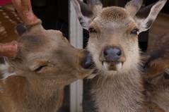 Deers in Nara Park (O.Ped) Tags: park japan t daibutsu nara giappone deers todaiji