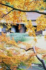 untitled (yuki*) Tags: japan analog autumnleaves autumncolours yokohama filmcamera kanagawa carlzeiss  contax139quartz kodakektar slowphotography sankeiengardens planart85f14