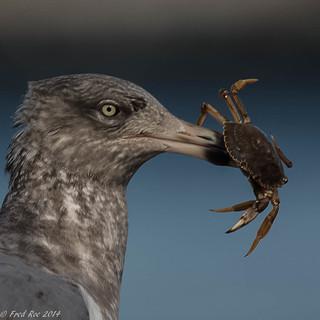 Herring Gull [Larus argentatus] with breakfast treat