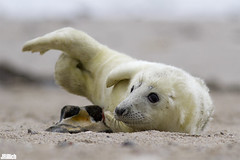 a lousy big stone in the sand - Seal pup, Robbenbaby, grey seal, Kegelrobbe, Halichoerus grypus @ Helgoland, Heligoland in december 2014 (Jan Rillich) Tags: sea baby sun white nature beautiful beauty animal fauna digital photography eos grey photo spring sand flora december foto fotografie image jan wildlife dune picture free sunny insel seal pup northern dezember eastern nordsee sandstein robbe düne küste halichoerusgrypus grayseal 2014 howler greyseal helgoland sealpup animalphotography northernsea heuler buntsandstein nordseeküste seerobbe heligoland kegelrobbe halichoerus grypus robbenbaby hundsrobbe janrillich rillich babyrobbe