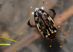 fun(ny) facts (laurie_frisch) Tags: life winter macro water closeup bug insect fun pond funny adult natural beetle insects diving iowa bugs goose area aquatic habitat ponds overwintering active freshwater fact facts semiaquatic predacious longulus coptotomus