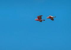 galahs - nr hattah, NW Vic, australia 2 (Russell Scott Images) Tags: australia victoria pinkandgrey galahcockatoo rosebreastedcockatoo roseatecockatoo galaheolophusroseicapilla