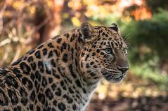 Leopard Fire (Light Echoes) Tags: fall zoo nikon october feline leopard bigcat carnivore philadelphiazoo amurleopard 2014 d90 philadelphiamammel