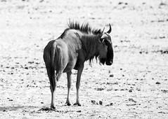 Blue Wildebeest (pl: Gnu pręgowane) (sylweczka) Tags: park animals safari national waterhole namibia etosha okaukuejo sylweczka