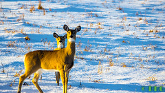 Hike Jan 8th (DKG Images) Tags: snow canada canon wildlife damien deer goodyear dkg 55250mm dkgimage dkgimages