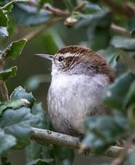 Bewick's Wren (Thryomanes bewickii) (byjcb) Tags: california santacruz birds unitedstates wren