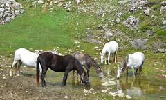 Thirsty horses - caballos sedientos (Paco_NaturePhotography) Tags: horses naturaleza nature animals fauna caballos lumix tiere drink wildlife panasonic cavalos animales montaa pferde dieren thirsty montaas equus chevaux paarden beber boir sedientos naturalezacautivadora dmcfz72 pacovalero