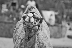 Fuerteventura 2014 (Paulaart18) Tags: november sahara skeleton volcano islands sand squirrels fuerteventura camel canary volcanic 2014 puertodelrosario paulaart18