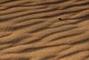 Travellers in the desert (haidarism (awake )) Tags: nature desert dune beetle heat lonely الصحراء طبيعة الوحدة الرمل الحرارة خنفساء
