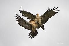 Quebrantahuesos, Crebaosos, Bearded Vulture, Gypate barbu (Gypaetus barbatus).15 (alvarof.polo) Tags: quebrantahuesos beardedvulture gypaetusbarbatus gypatebarbu crebaosos