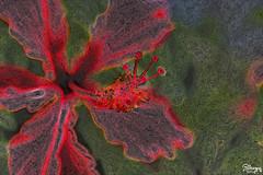 hibiscus (Jwaan) Tags: flower flora hibiscus tropical caribbean bvi britishvirginislands