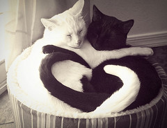 Cats playing Yin Yang 02  :-) - yin_yan_cats (Dona Minúcia) Tags: friends white black amigos cute art love animal branco cat peace arte paz preto gato harmony amizade yinyang fofo dormindo slipping gracinha purrrfection