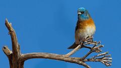 Lazuli Bunting (Eric Gofreed) Tags: arizona sedona bunting lazulibunting samsyard