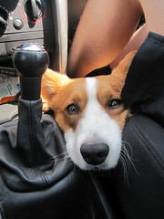 Murphyoso (Lorena Pedrajas) Tags: trip dog corgi funny retrato playa perro coche verano viajar divertido peludo