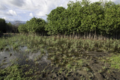 Mangrove forests are decimated to make charcoal, La Cahouane, South Department, Haiti (UNEP Disasters & Conflicts) Tags: haiti csi cotesudinitiative southdepartment environment un sdg mdg drr renewableenergy sustainabledevelopment greeneconomy pcdmb disasters conflicts portsalut disasterriskreduction climatechange charcoal lacahouane deforestation mangroves unep unenvironment