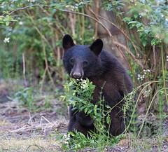 Cub Portrait (Maja's Photography) Tags: flowers portrait food animals canon bc eating wildlife bears blackbear blackbears blackbearcub