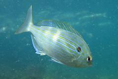 Pinfish, Destin, Florida (Hawkfish) Tags: gulfofmexico underwater florida snorkeling destin marinelife porgy floridapanhandle pinfish canonpowershots100