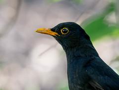 Male Blackbird Portrait (abritinquint Natural Photography) Tags: wild summer bird germany garden nikon wildlife 300mm telephoto nikkor blackbird f4 vogel pf trier tc14eii 300mmf4 teleconvertor d7200 pfedvr