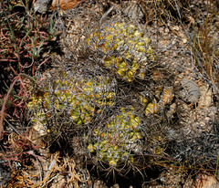 Neoporteria curvispina robusta (Umadeave) Tags: chile cactus montagne plante flora chili desert flore lacampana robusta eriosyce ocoa curvispina neoporteria