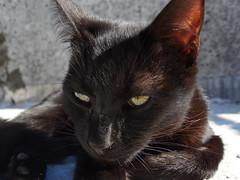 DSC00739 (Camila Monticelli) Tags: black cute cat kitten negro kitty sombra gato linda kira gatita gatito hx300