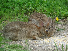 Eastern Cottontail Rabbits (sylvilagus floridanus) (Gerald Barnett) Tags: summer usa brown bunny bunnies nature beautiful beauty animal animals closeup fur outdoors illinois furry mood peace wildlife peaceful tranquility naturallight harmony serenity serene summertime rabbits inspirational upclose contemplative tranquil bestpicture wildanimals southernillinois bestpic bestphoto sylvilagusfloridanus beigebrown perfectphoto naturalcolor animalcloseups cottontails animalcloseup perfectpicture northamericanwildlife perfectpic cottontailrabbits northamericananimals animalsofnorthamerica