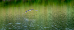 Rare Find (Sonarsgs) Tags: nature outdoors wings wildlife flight shore skimming