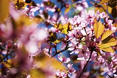 Cherry Blossom, Lohja 4 (visitsouthcoastfinland) Tags: flowers flower suomi finland cherry spring blossom cherrytree lohja kevät kukka kukat lumo visitsouthcoastfinland kirkikkapuu