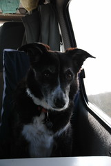 Do you want your seat back? (What I saw...) Tags: dog lighthouse scotland collie border molly toyota campervan stoer hiace