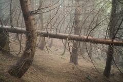 im Holz (Toni_V) Tags: wood mist fog forest schweiz switzerland europe dof nebel suisse bokeh hiking 28mm rangefinder trail mp svizzera stgallen wald wanderung wanderweg randonne 2016 heidiland svizra escursione sarganserland leicam elmaritm messsucher 160604 typ240 toniv m2400325 palfriesgonzen