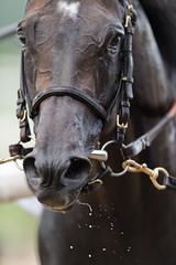 D4S_4314 (hamacherphotos) Tags: nikon equestrian belmontstakes nyra nikond4s belmontstakesbelmonthorseracinghorses