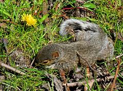 IMG_5367 (claywakening) Tags: ny oswego babysquirrel