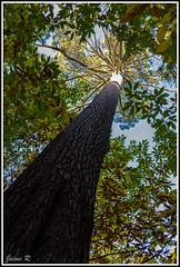 El arbolito (Jimihendrix II) Tags: vertical hojas cielo rbol tronco alto corteza ramas