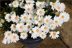 Voltage White (Mabacam) Tags: flower daisy africandaisy osteospermum 2016 capedaisy voltagewhiteosteospermum