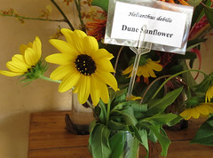 DuneSunflower