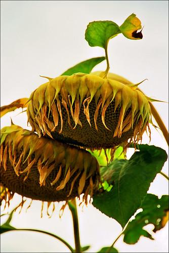 Sunflower..:)